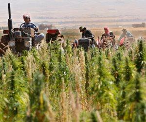 البرلمان اللبناني يقر زراعة القنب لأغراض طبية