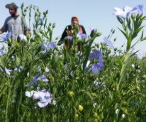 أقل استهلاكا للمياه.. اعرف أسباب ارتفاع مساحات زراعة الكتان لـ 23721 فدانا