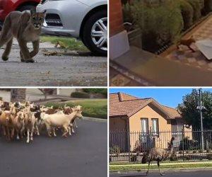حيوانات تتحدى قرارات «حظر التجول» وتحتل شوارع العالم (صور وفيديو)