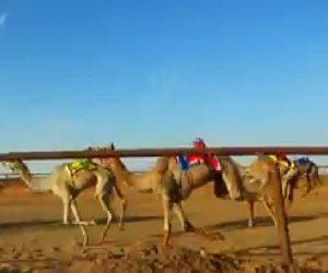 تفاصيل استعدادات إقامة أول مهرجان لسباقات الهجن بعد «كورونا» في جنوب سيناء