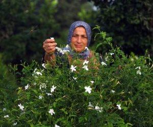رحلة الياسمين من «شبرا بلولة» بالغربية إلى أكبر شركات العطور الفرنسية