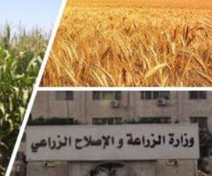 البحوث الزراعية تواجه المناخ المتغير: تقاوي 3 أصناف جديدة من القمح عالية الإنتاجية للموسم الجديد