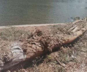"""""""الجيزة"""" توضح حقيقة إزالة عدد من أشجار الكافور المتهالكة بشارع النيل"""