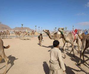 الخميس.. انطلاق مهرجان سباق الهجن بمشاركة 1108 مطايا على مضمار شرم الشيخ بدعم إماراتي (صور)