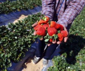 بدء حصاد فاكهة الحب.. «الفراولة» المصرية الأول عالميا