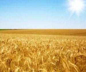 7 خطوات قامت بها وزارة الزراعة لإنجاح موسم القمح .. تعرف عليها
