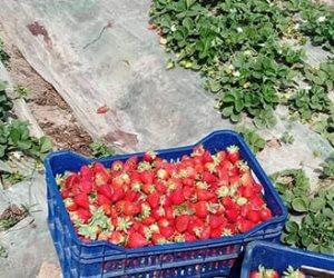 الأيادي الشقيانة تحتفل بموسم حصاد الفراولة.. والزراعة: المحصول المصري الأول عالميا
