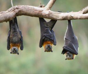 دراسة تخالف التوقعات.. الخفافيش «بريئة» من قتل الملايين بكورونا