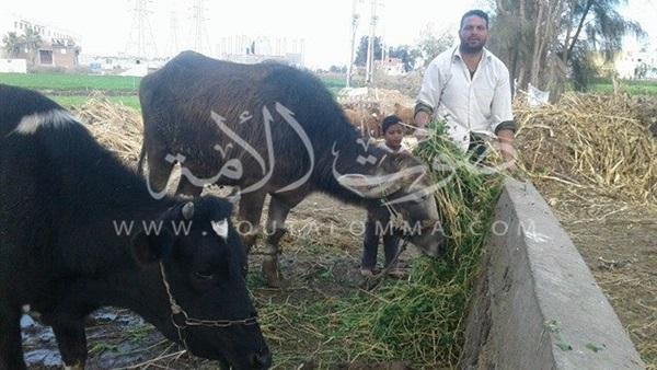 عائلات تعيش على روث الأبقار (صور)